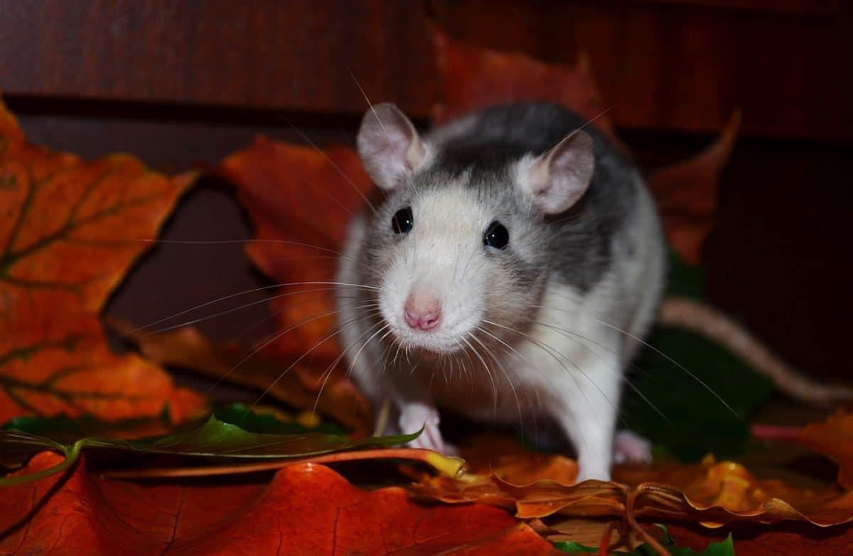 venenos y trampas para ratas